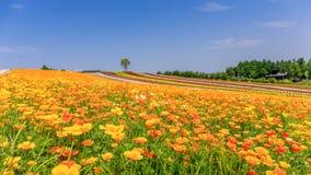 Panorama- färgrikt blommafält i sommar, Hokkaido Japan Royaltyfri Bild
