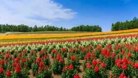 Panorama- färgrikt blommafält i sommar, Hokkaido Japan Arkivbild
