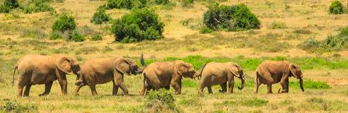 Panorama för afrikanska elefanter Fotografering för Bildbyråer