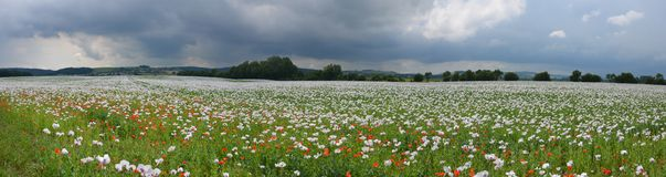 Panorama för fält för opiumvallmo Arkivfoto