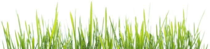 Panorama för grönt gräs som isoleras på vit bakgrund Royaltyfri Fotografi