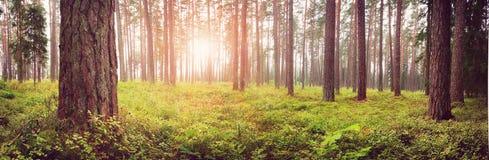 Panorama för Lahemaa nationalparkskog i september royaltyfri bild