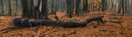 Panorama of fallen tree in autumn forest Royalty Free Stock Images