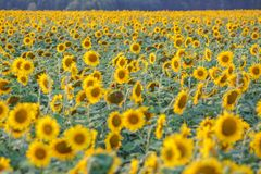 Panorama in field of blooming sunflowers in sunny day stock photo