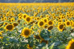 Panorama in field of blooming sunflowers in sunny day royalty free stock photography
