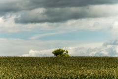 Panorama of field with corn, tree and cloudy sky Royalty Free Stock Images