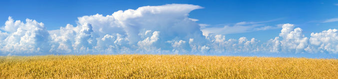 Panorama of the field with mature wheat Stock Images