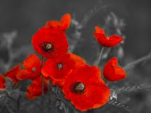 Panorama with field poppies royalty free stock photos