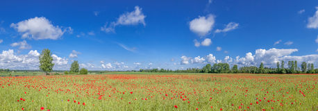 Panorama of the field with poppies. Stock Photo