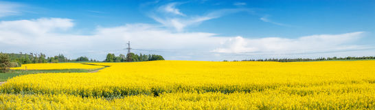 Panorama of the field with rape. Royalty Free Stock Photography