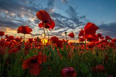 Panorama of a field of red poppies royalty free stock photos