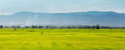 Panorama of field rice location Royalty Free Stock Photo