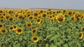 Panorama of a field of sunflowers stock video