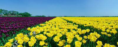Panorama field of tulips Royalty Free Stock Image