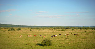The panorama of the field where a herd of cows grazing Stock Images