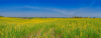 Panorama field of yellow Crotalaria flowers in day blue sky. Stock Photography
