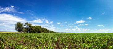 Panorama of fields with corn, Russia Royalty Free Stock Photo