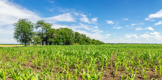 Panorama of fields with sprouts of corn in the summer, Russia Royalty Free Stock Photos
