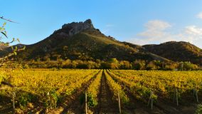 Panorama of fields of vineyards at sunset. Gorgeous autumn panorama of fields of vineyards in the evening at sunset stock images