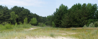 Panorama of the fir tree forest