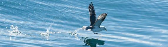 Panorama of a fishing seagull Stock Photo