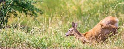 Panorama of a fleeing deer stock image
