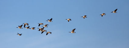 Panorama of flock of geese. Royalty Free Stock Photo