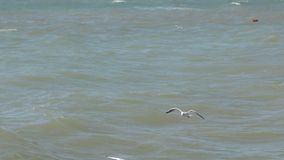 Panorama, flock of gulls flying low over the waves and eating bread. stock footage
