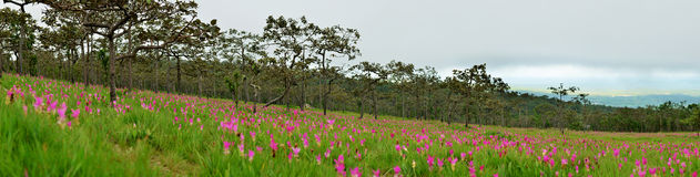 Panorama flower Wild siam tulips blooming in the jungle Stock Image