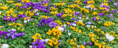 Panorama of a flowerbed of crosusses Royalty Free Stock Photos
