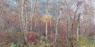 Mixed Autumn forest panorama Royalty Free Stock Image