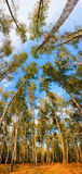 Panorama forest. Beautiful panorama forest in autumn Royalty Free Stock Image