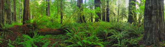 Panorama forest Royalty Free Stock Photos