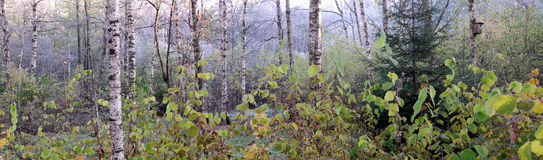 Panorama at forest. Panorama in autumn forest.Early morning Royalty Free Stock Photos