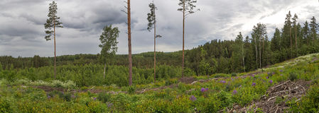 Panorama. Forest after felling trees. Stock Image