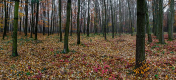Panorama of forest Royalty Free Stock Photos