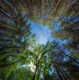 Panorama of forest. Photo gaze into the sky from the depths of the forest during summer Royalty Free Stock Photography