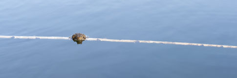 Panorama of a frog on branch in water Stock Images