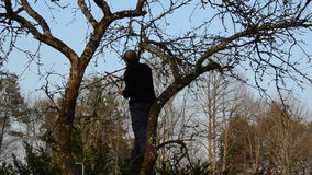 Panorama of gardener on apple tree trim branches with clippers stock footage