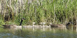 Panorama of geese and goslings. Royalty Free Stock Photo