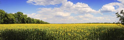 Panorama Gisement de tournesol image stock