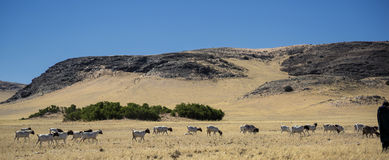 Panorama with goaths in Namibia Stock Photo