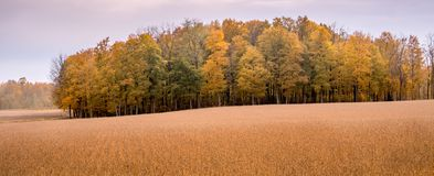 Panorama of a golden field with beautiful trees stock image