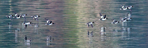 Panorama of goldeneye fowl. Stock Images