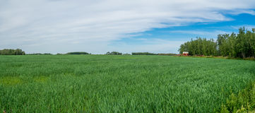 Panorama of a grain field Royalty Free Stock Photos