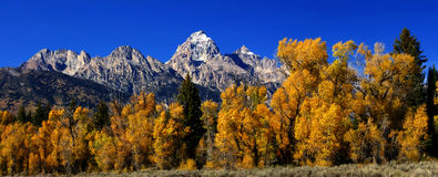Panorama: Grand Teton with autumn golden aspens, Royalty Free Stock Photography