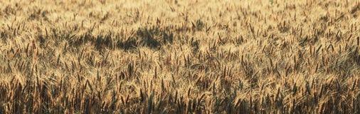 Panorama grande del vintage del campo de trigo imagen de archivo libre de regalías