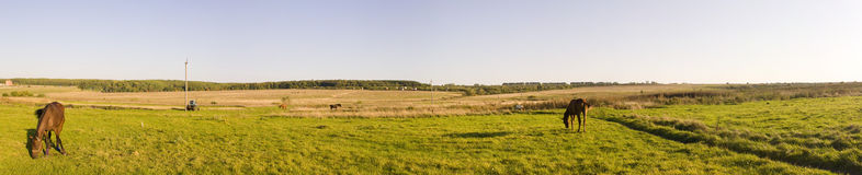 Panorama. Grazed horses. Agricultural landscape Royalty Free Stock Images