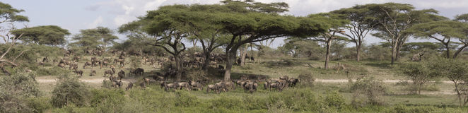 Panorama of great wildebeest migration, Serengeti. Panorama of wildebeest in great migration grazing under acacia trees in Serengeti National Park landscape royalty free stock photo