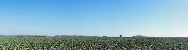 Panorama  of green cabbage  field Stock Images